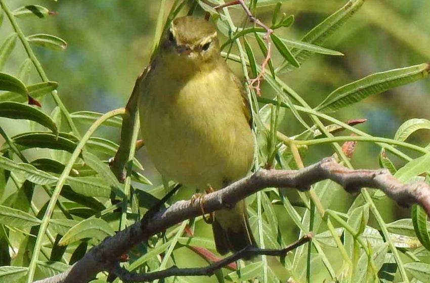 Felosa-musical Phylloscopus trochilus