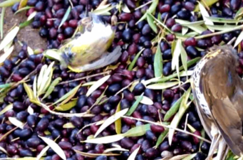 Proibição da colheita mecânica noturna de azeitonas nos olivais superintensivos